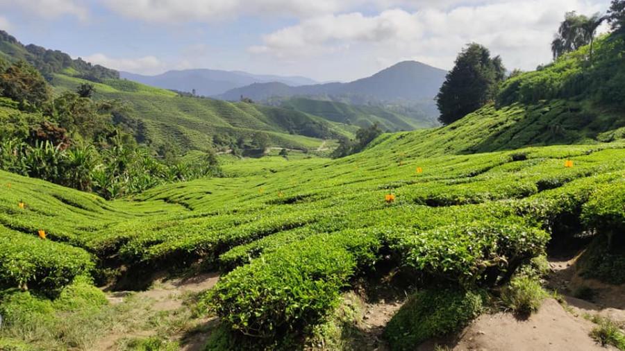 Dovolená v Malajsii: Cameron Highlands - základní informace, počasí, památky a praktické rady